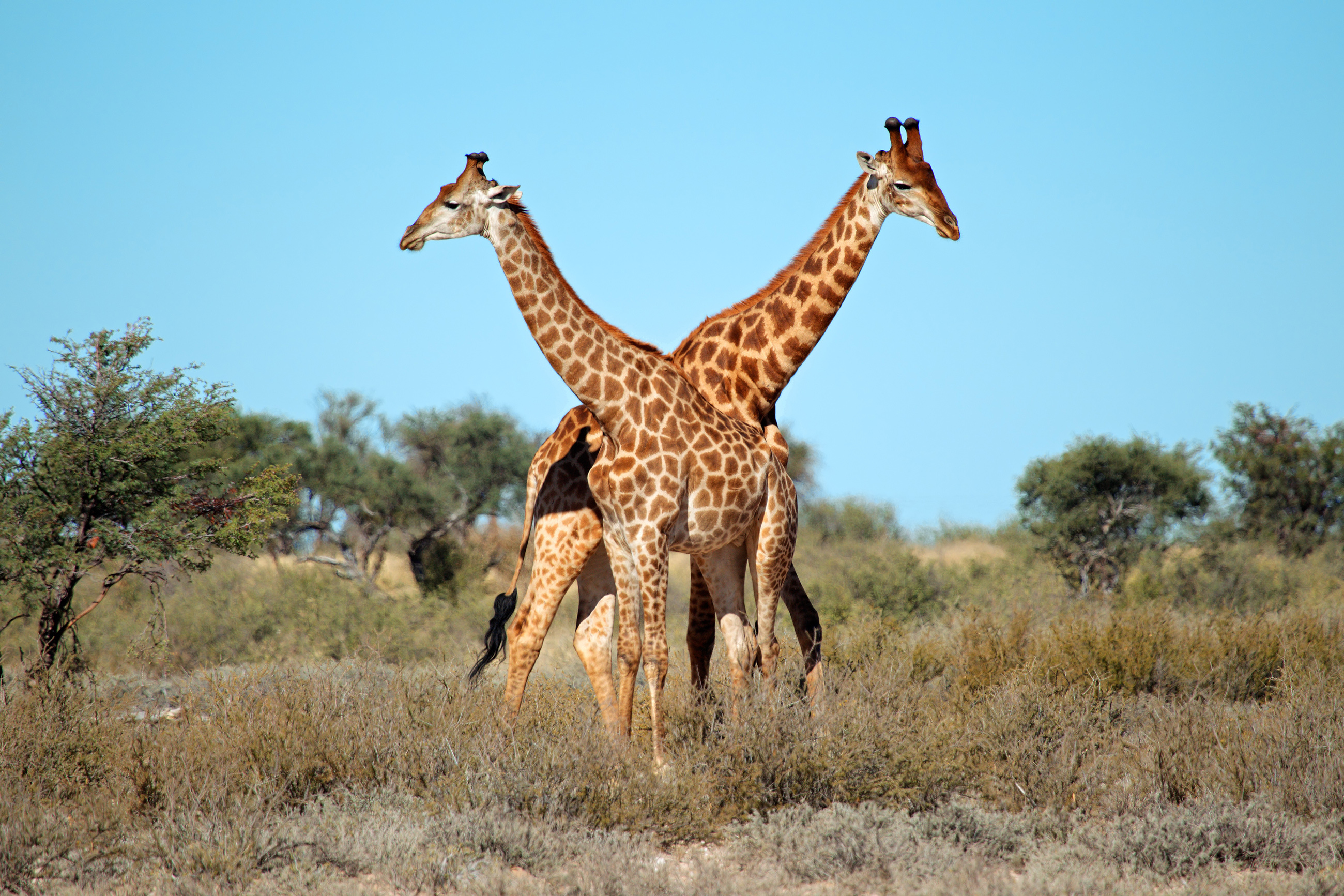Giraffe M Frequently Aske...