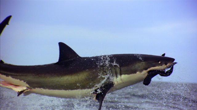 What Do Great White Sharks Eat | Great White Sharks Diet