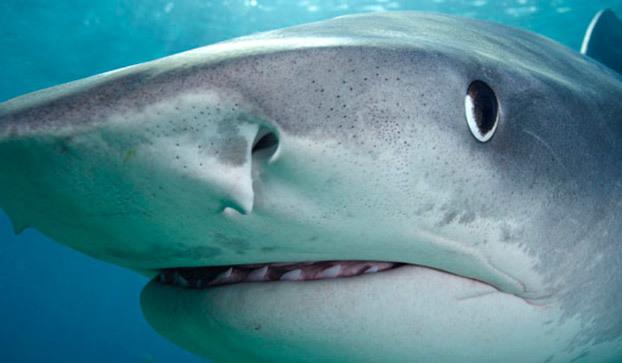 Tiger Shark Shark Week Discovery