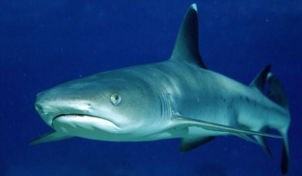 ab8852a42b Whitetip Reef Shark