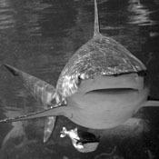 bull-sharks-mean-business0