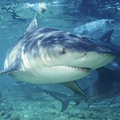 freshwater-sharks0