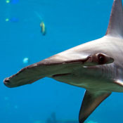 hanging-with-hammerheads0