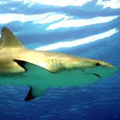 hsw-shark-senses0