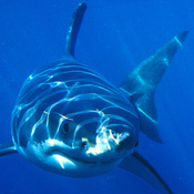 largest-great-white-shark0
