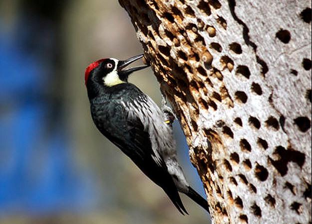 north-america-acorn-woodpecker-625x450