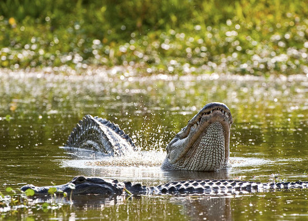 north-america-alligator-625x450