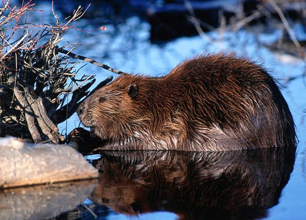 north-america-beaver-625x450