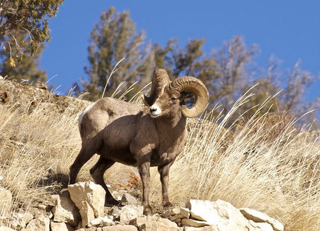 north-america-bighorn-sheep-625x450