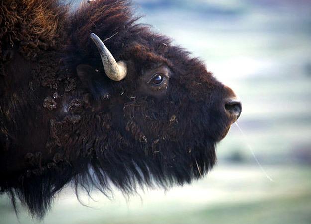 north-america-bison-625x450