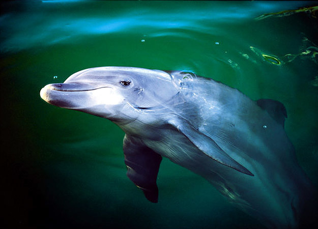north-america-bottlenose-dolphin-625x450