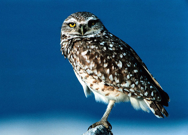 north-america-burrowing-owl-625x450