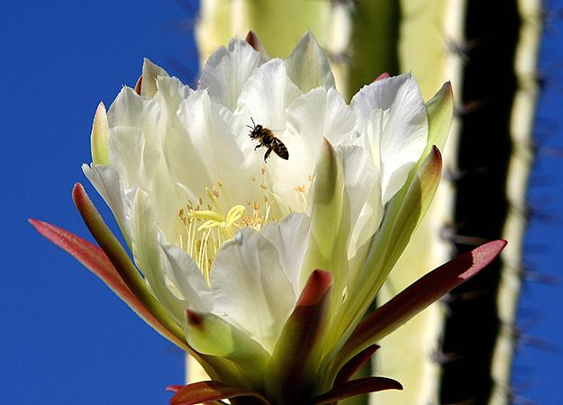 north-america-cactus-bee-625x450