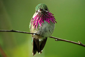 north-america-calliope-hummingbird-278x186