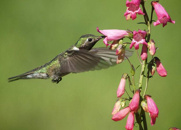 north-america-calliope-hummingbird-625x450