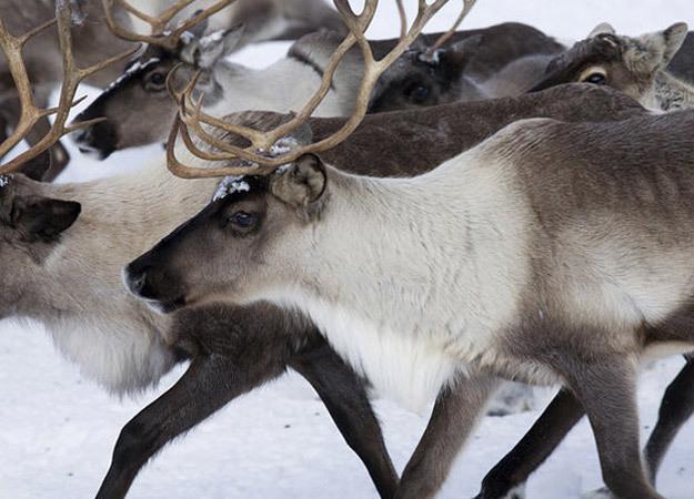north-america-caribou-625x450