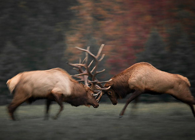 north-america-elk-625x450