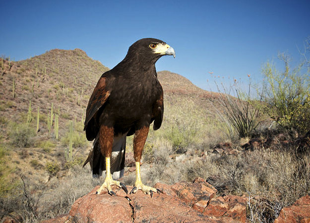 north-america-harris-hawk-625x450