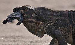 north-america-iguana-250x150