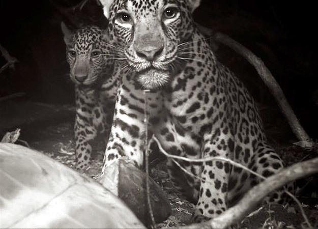 north-america-jaguar-2-625x450