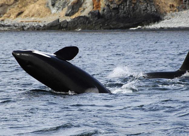 north-america-killer-whale-625x450