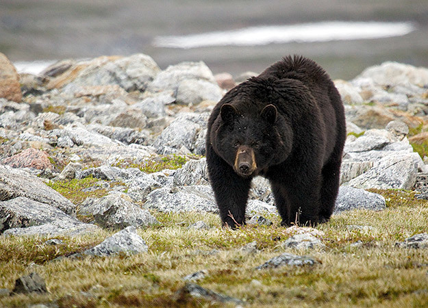 north-america-labrador-black-bear-2-625x450