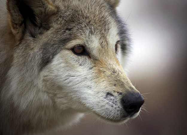 north-america-labrador-gray-wolf-2-625x450