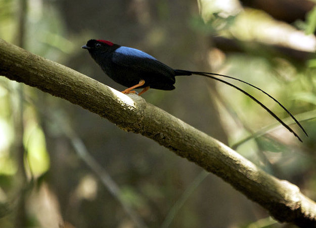 north-america-long-tailed-manakin-625x450