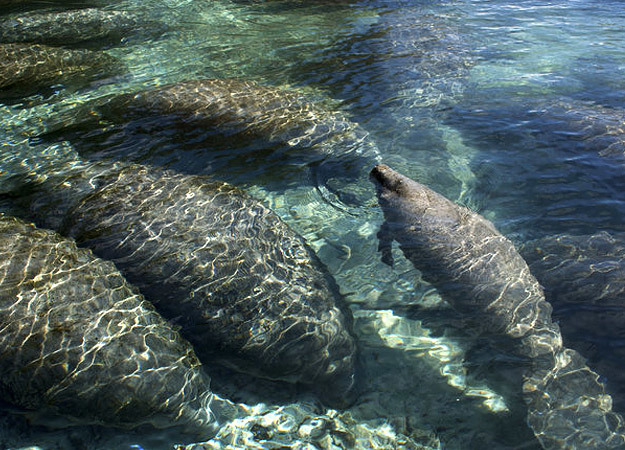 north-america-manatee-625x450