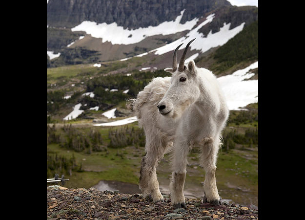 north-america-mountain-goat-625x450