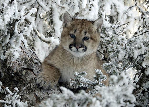 north-america-mountain-lion-cub-625x450