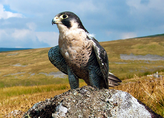 north-america-peregrine-falcon-625x450