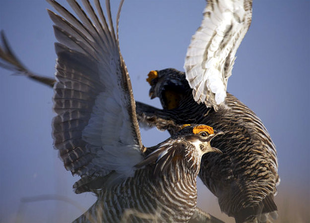 north-america-prairie-chickens-625x450