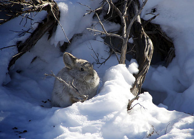 north-america-pygmy-rabbit-625x450