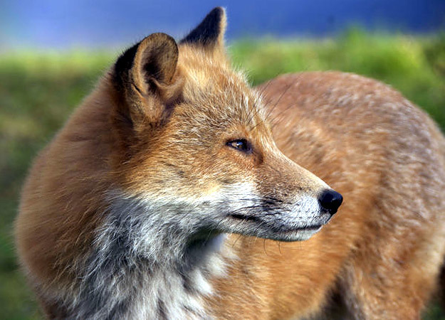 north-america-red-fox-625x450