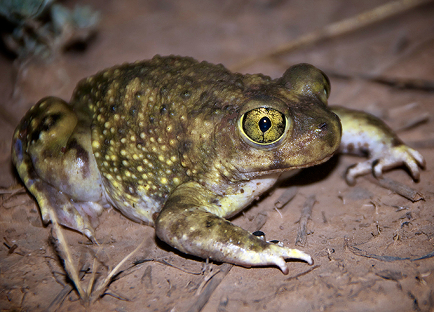 north-america-spadefoot-toad-625x450