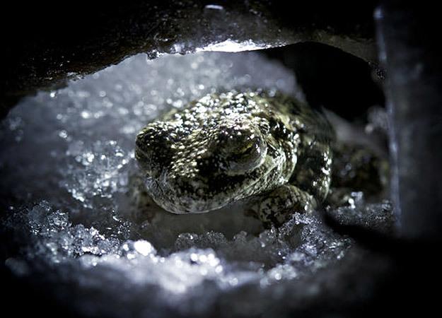 north-america-wood-frog-625x450