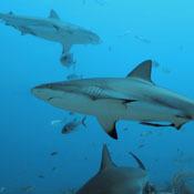 shark-diets0