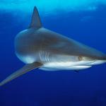 shark-drown-ch150