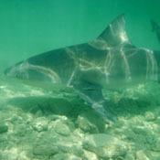 sharks-as-hunters0
