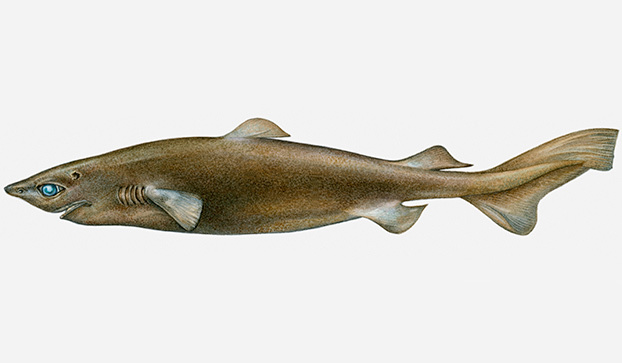 Type of Shark Portuguese Shark