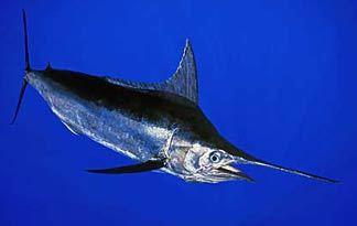 blue-marlin0