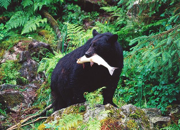 north-america-black-bear-625x450