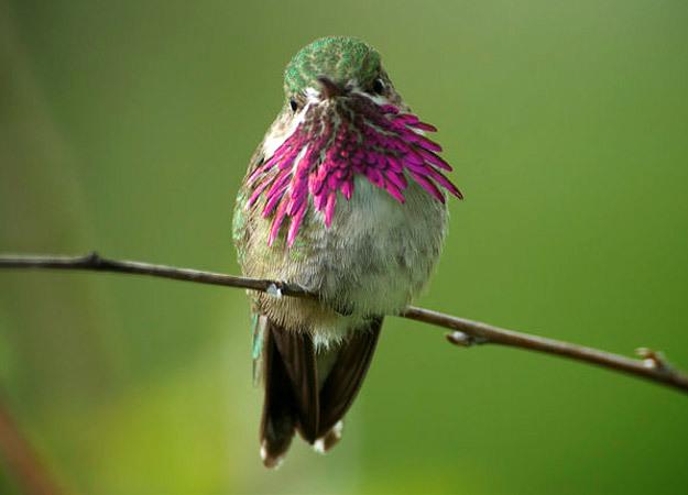 north-america-calliope-hummingbird-2-625x450
