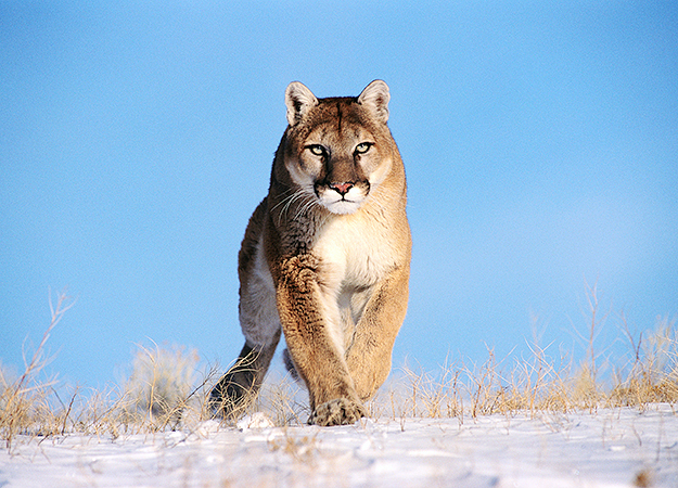 north-america-cougar-mountain-lion-625x450
