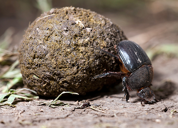 north-america-dung-beetle-625x450