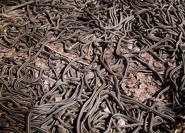 north-america-garter-snakes-625x450