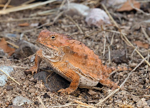 north-america-horned-lizard-625x450