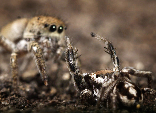 north-america-jumping-spider-625x450