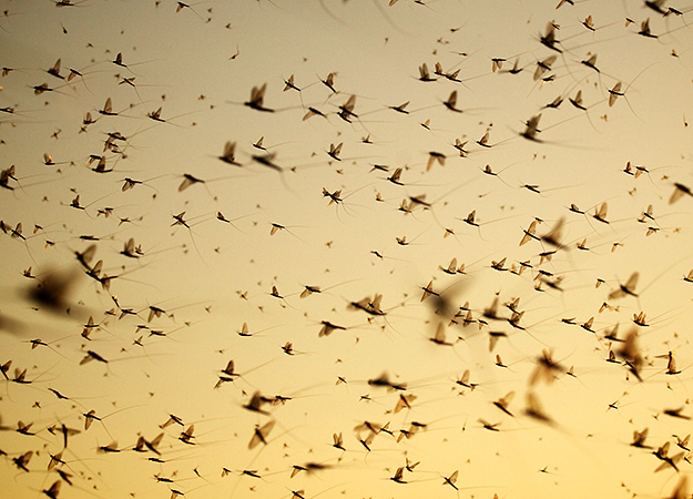 north-america-mayflies-625x450